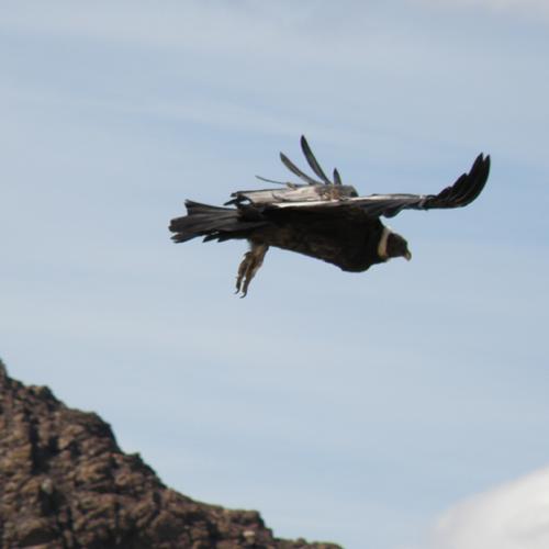 Andean Condor, French Valley